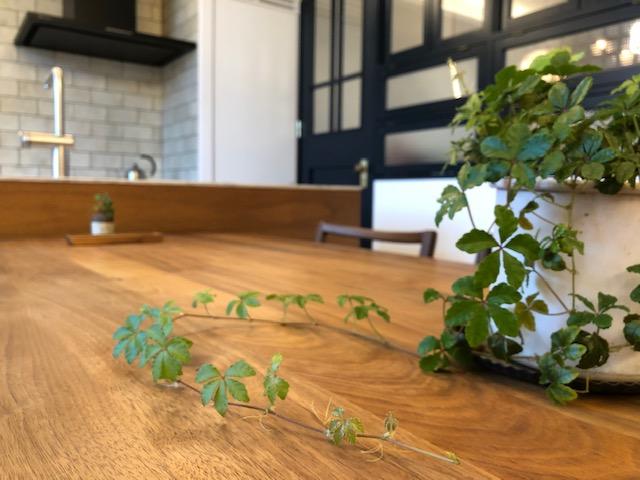 リノクラフトショールームですこやかに育つグリーン、シュガーバインという育てやすい植物です