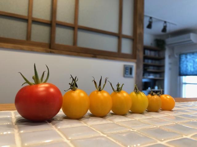 リノベマンションのベランダで家庭菜園、収穫したプチトマト可愛い!