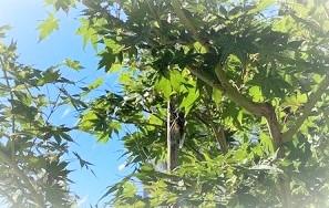 豊橋市でリノベーションを手掛けるリノクラフト株式会社前の木で鳴く蝉。夏の到来を感じさせます。